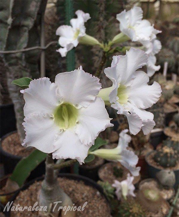 Variedad blanca de la rosa del desierto adenium obesum - Vivero la rosa del norte ...