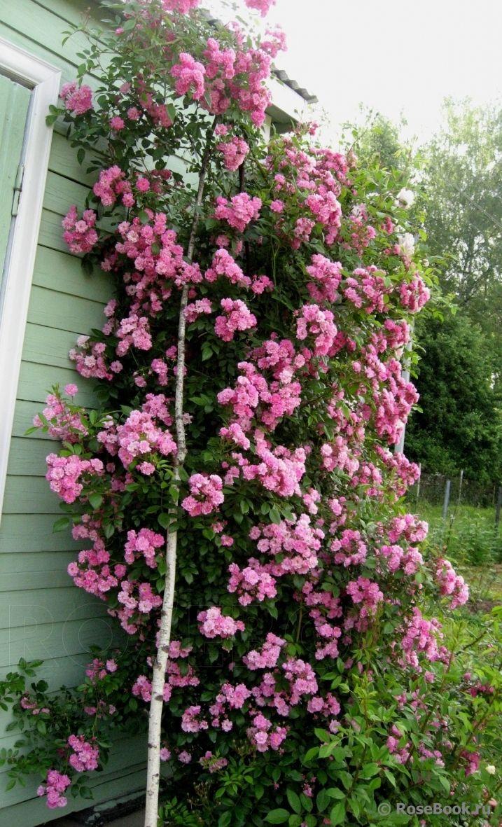 были молоды роза вартбург фото и описание отличительная черта этого