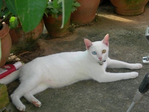 Cat Breed Of The Day Khao Manee Cat Breeds Cat Care Cat Exercise