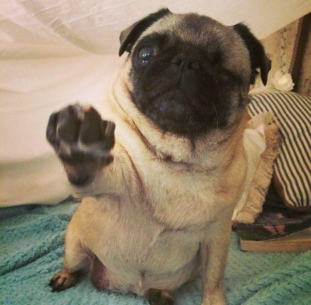 pewdiepie's pug maya | Pugs | Pinterest | Maya, Pewdiepie ...