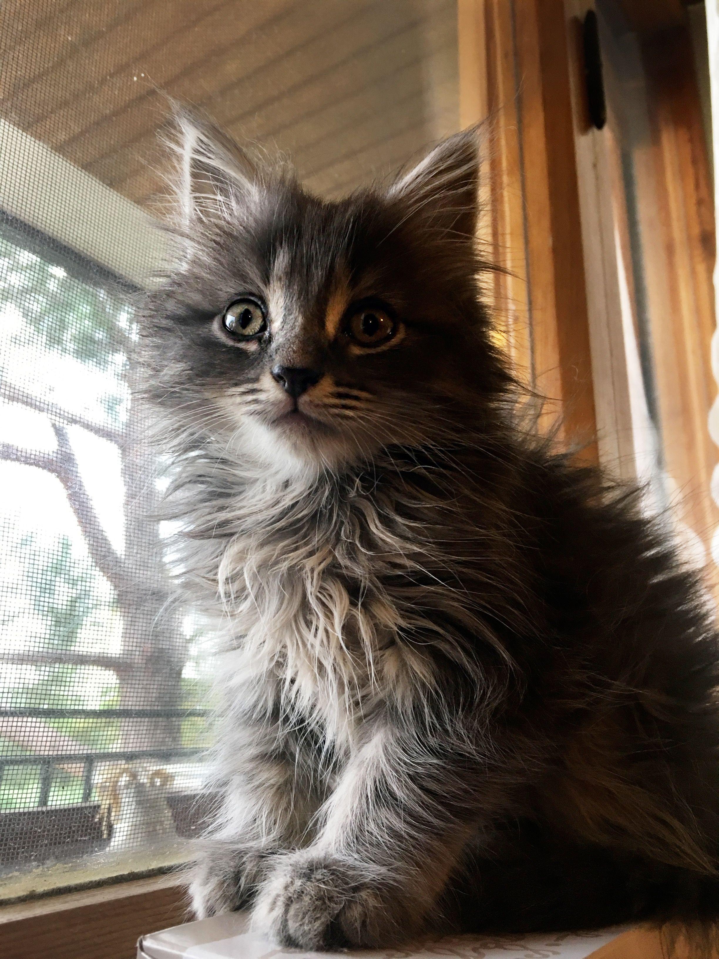 My Baby Boy Sam Norwegian Forest Cat Silver Tabby Norwegian