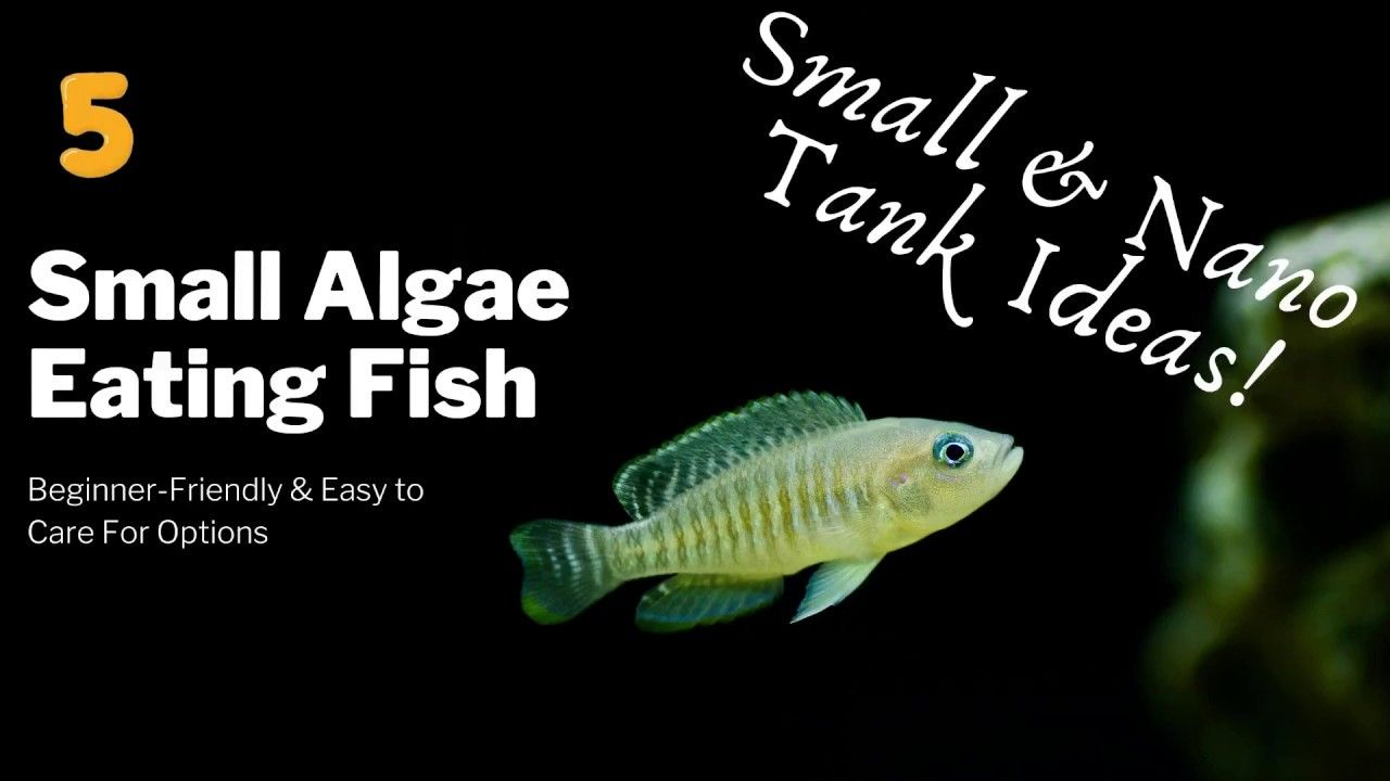 Small Algae Eaters For Small Tanks Easy Beginner Friendly Ideas In 2020 Small Tank Fish List Algae
