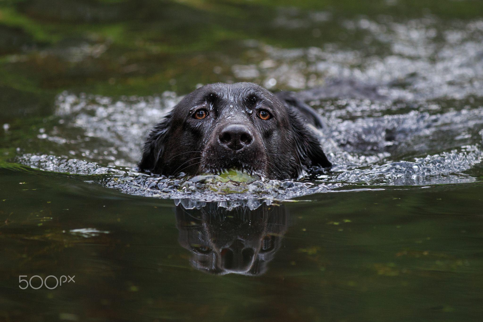 Jill the Labrador retrieves the ball - Black Labrador Retriever retrieves the tennisball