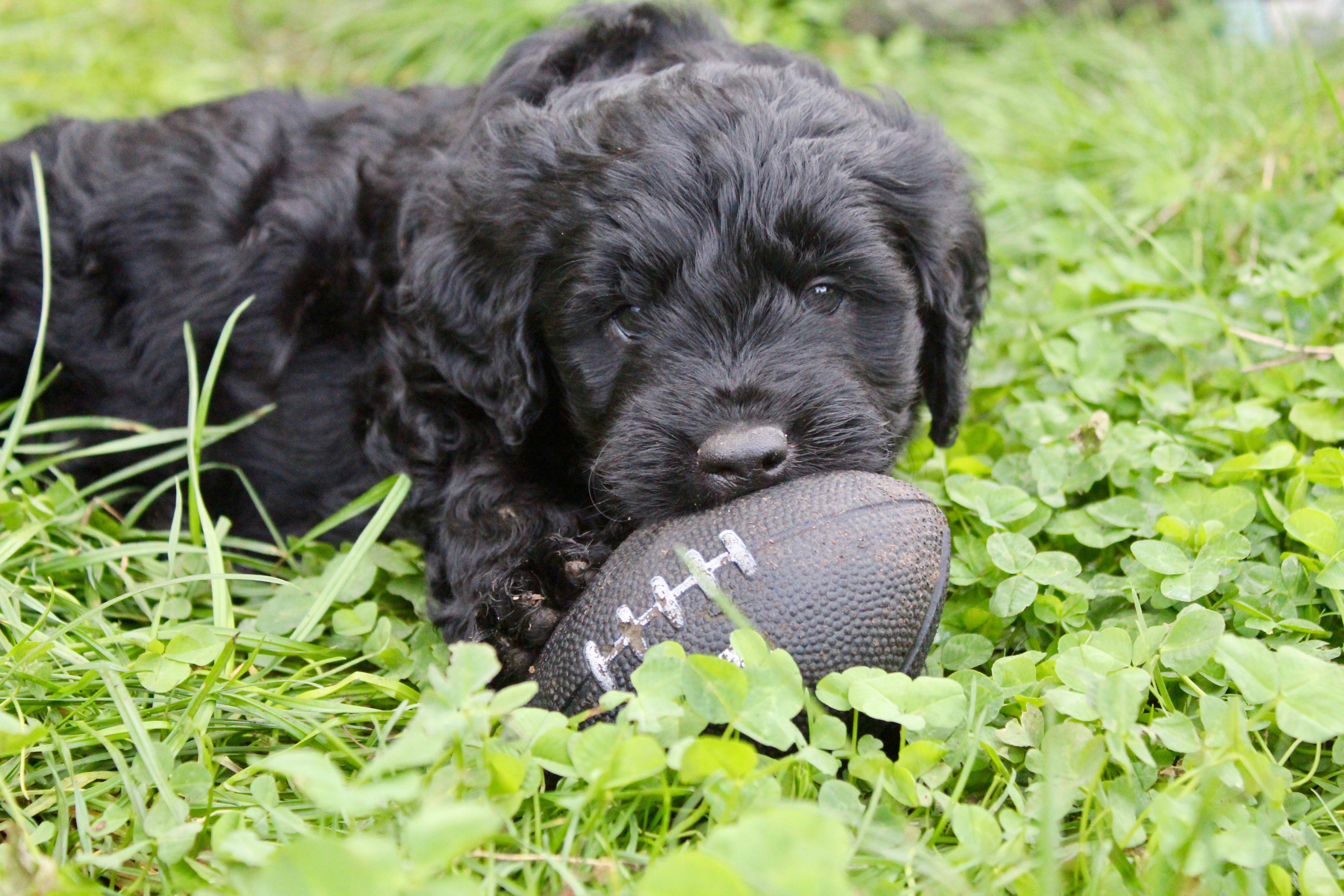 Charlie puppies puppies for sale puppy finder