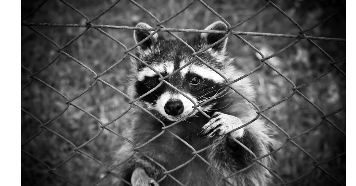 Are You Awakened At Night By Noises Coming From Your Attic Do You Dare Check It Out Sure You Can Tell Yourself It S Just The Wind So That Raccoons Pet R