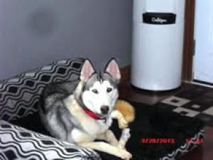 CHASTITY - 1yr, love bug is an adoptable Husky Dog in Whitby, ON. Please fill out an application form before calling or emailing questions.   Please fill out the application. If we do not receive an a...