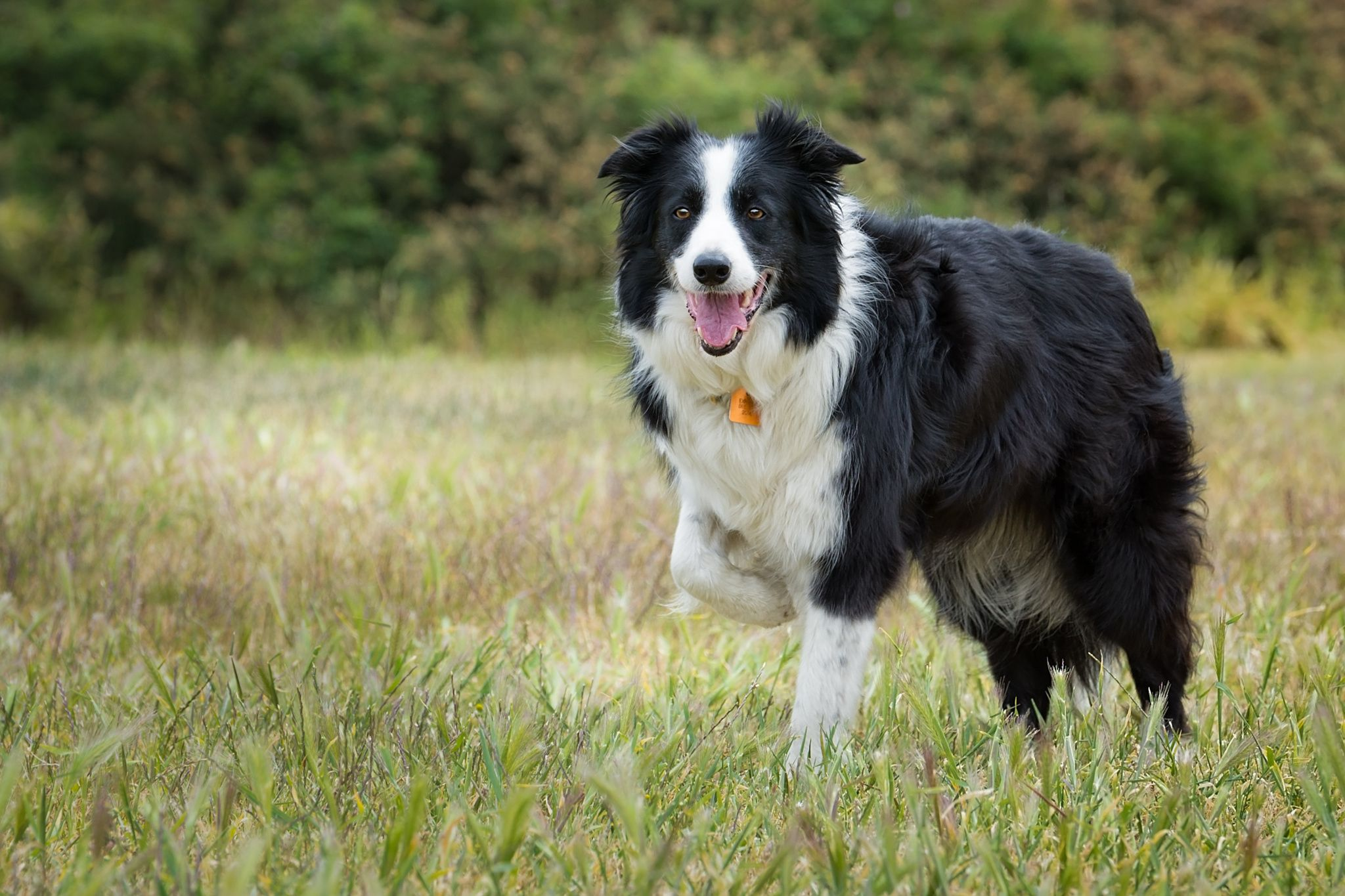 Jess Jess The Border Collie At Dallas Road A Very Well Trained