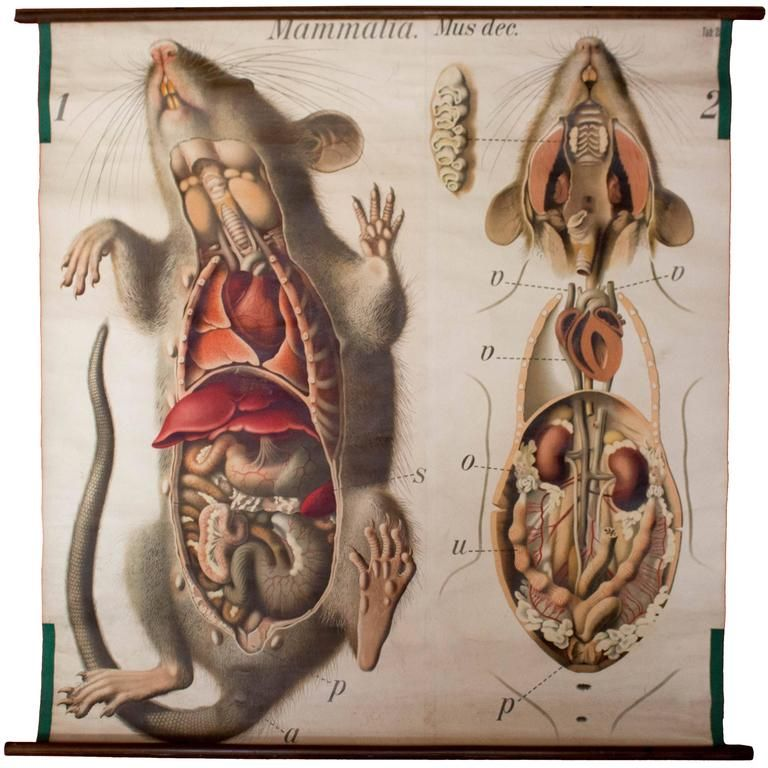 Rat Wall Chart by Paul Pfurtscheller, 1910 | animals illustration 2 ...