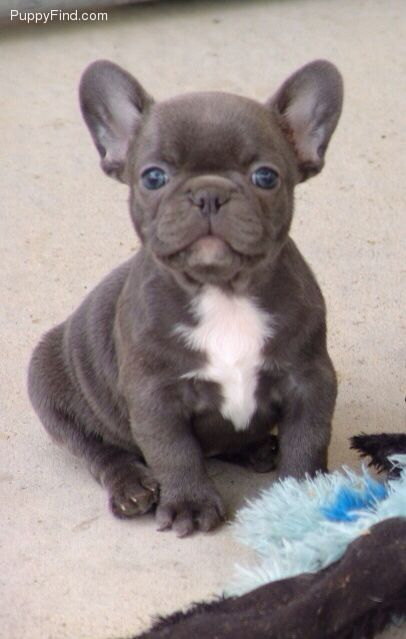 I can't wait to get our French bulldog!! :)