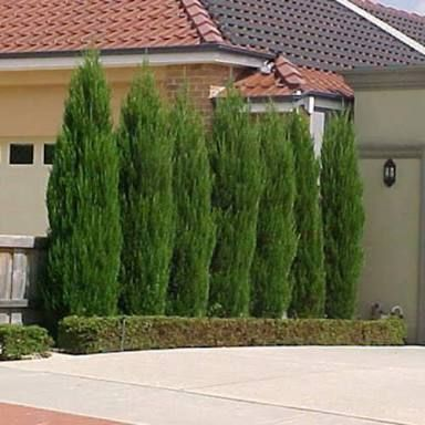 Fully Grown Juniperus Spartan Google Search Conifers Garden Plants Privacy Landscaping