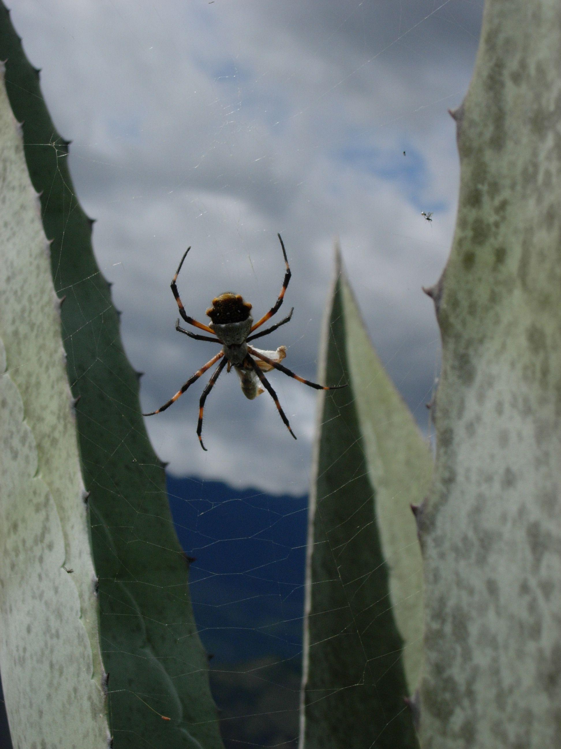 Spider in a cactus, Vilcabamba, Ecuador | Small pets ...