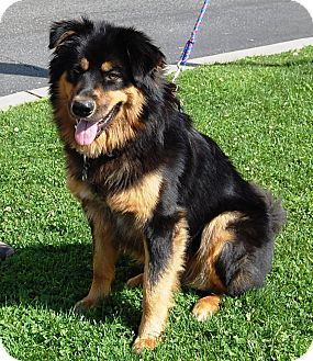 Golden Retrieverrottweiler Mix Dog For Adption In West Los Angeles