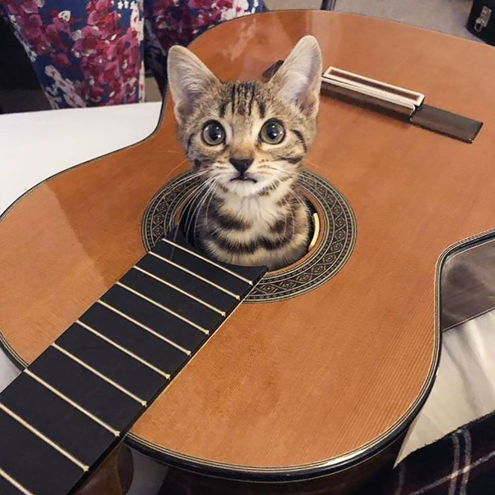 Hey Your Guitar Is Out Of Tuna Cat Guitar Tuna Music Producerlife Recordingstudio Musicmaking Daw Protools Avid Cute Cats Cats Kittens