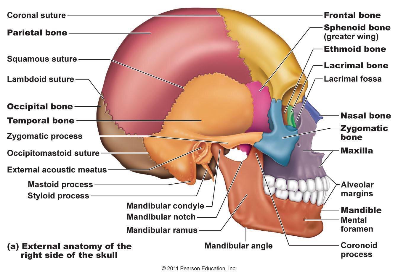 External Skull Anatomy