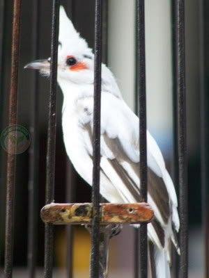 นกกรงห วจ กด าง ข นตอนการพ ส จน พล งเกษตร
