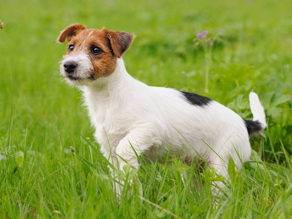 Jack Russell Pup Coaching Tips