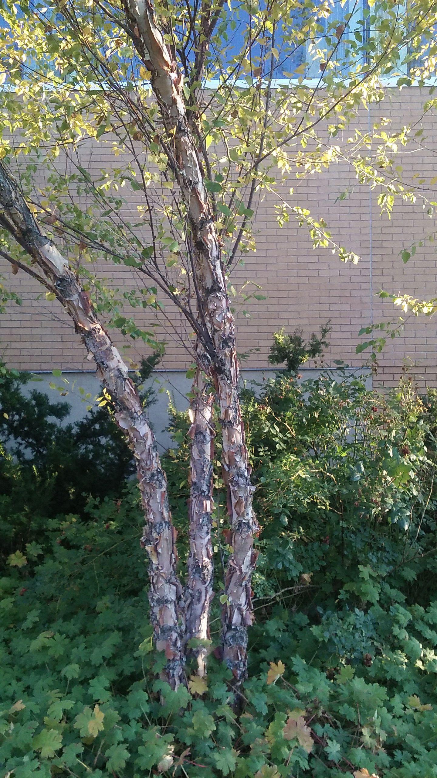 Pin On Plants For Winter Bark Characteristics Provo Ut Hardiness Zone 6