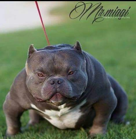 Mr Miagi Bully Pitbull Scary Dogs Bully Dog