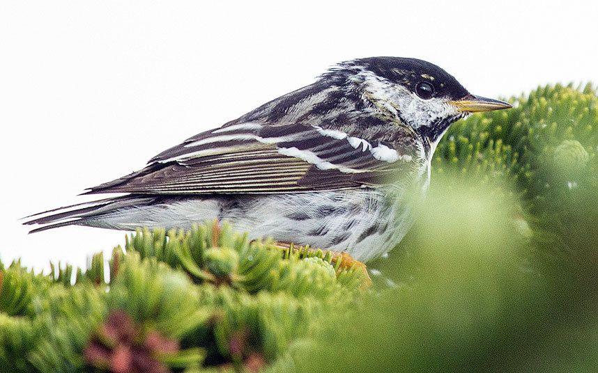 Blackpoll warbler chicks — pic 10