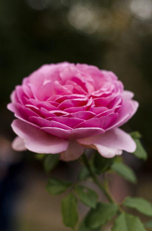 Arbore De Rosa