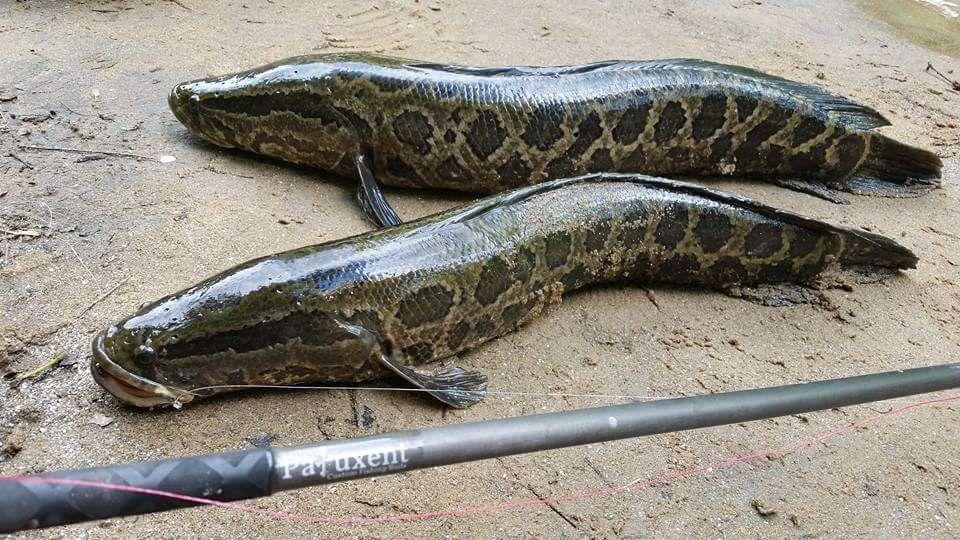 Northern Snakehead Fish That Can Live On Land Futuristspeaker Com Keynotespeaker Futuretrends Futureofwork Futurejobs Snakehead Fish Snake Fun Facts