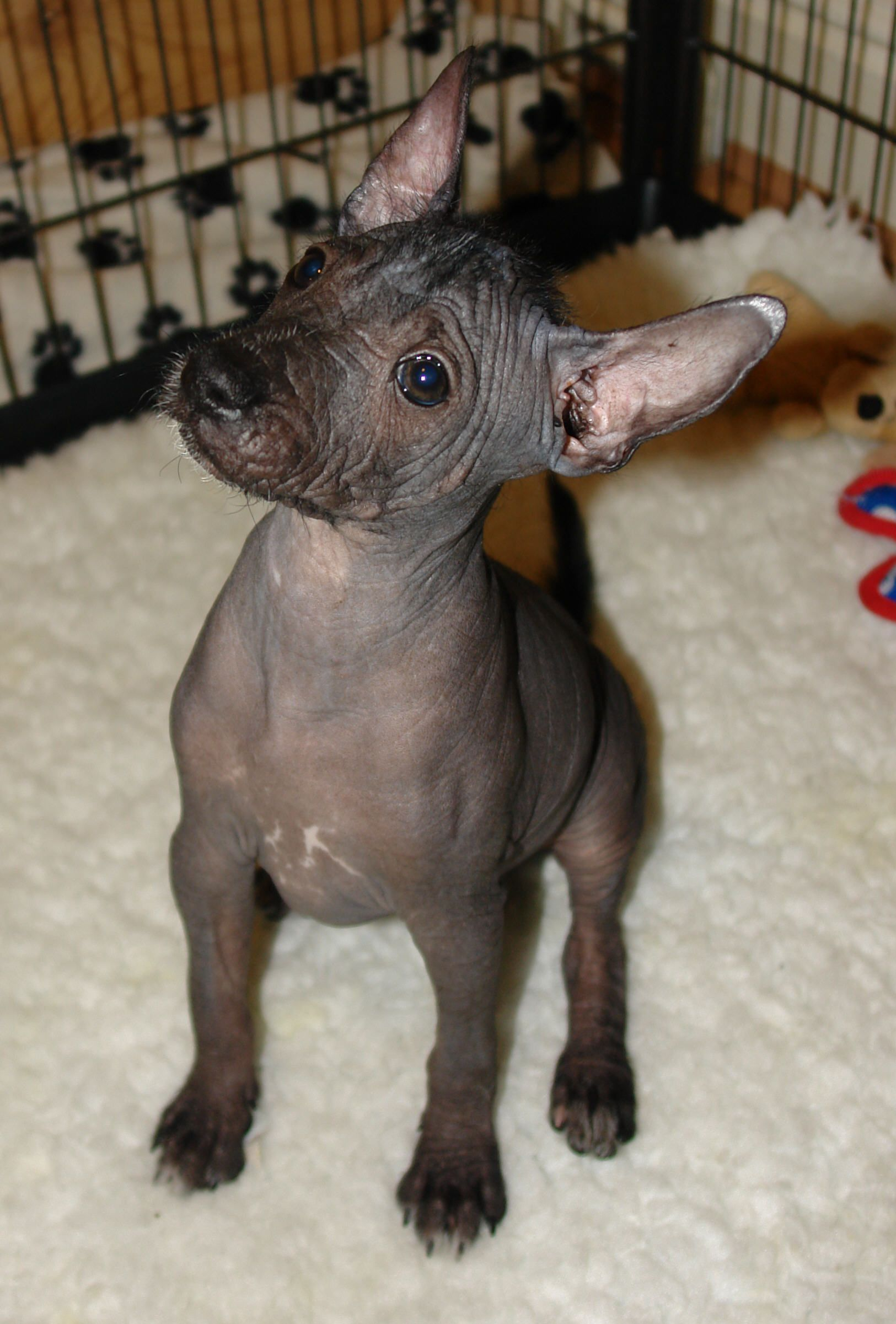 Mexican Hairless Puppy Puppy gallery - ima mexican