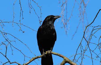 loigner les corbeaux r pulsif pour les faire fuir animaux du jardin corbeau corneille et. Black Bedroom Furniture Sets. Home Design Ideas