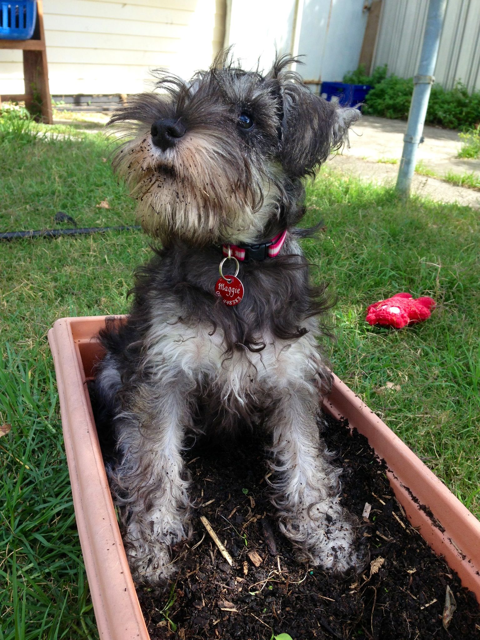 Garden helper, Dame Maggie the mini schnauzer. Schnauzer