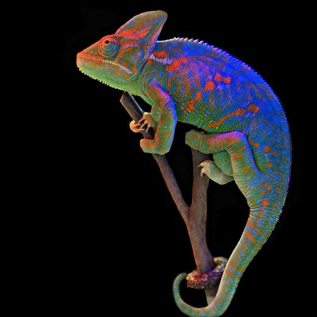 Amazing Colorful Chamilions: Animal ~ Magnetism