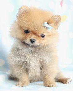 Toy Pomeranian Puppies For Sale Zoe Fans Blog Pomeranian Puppy