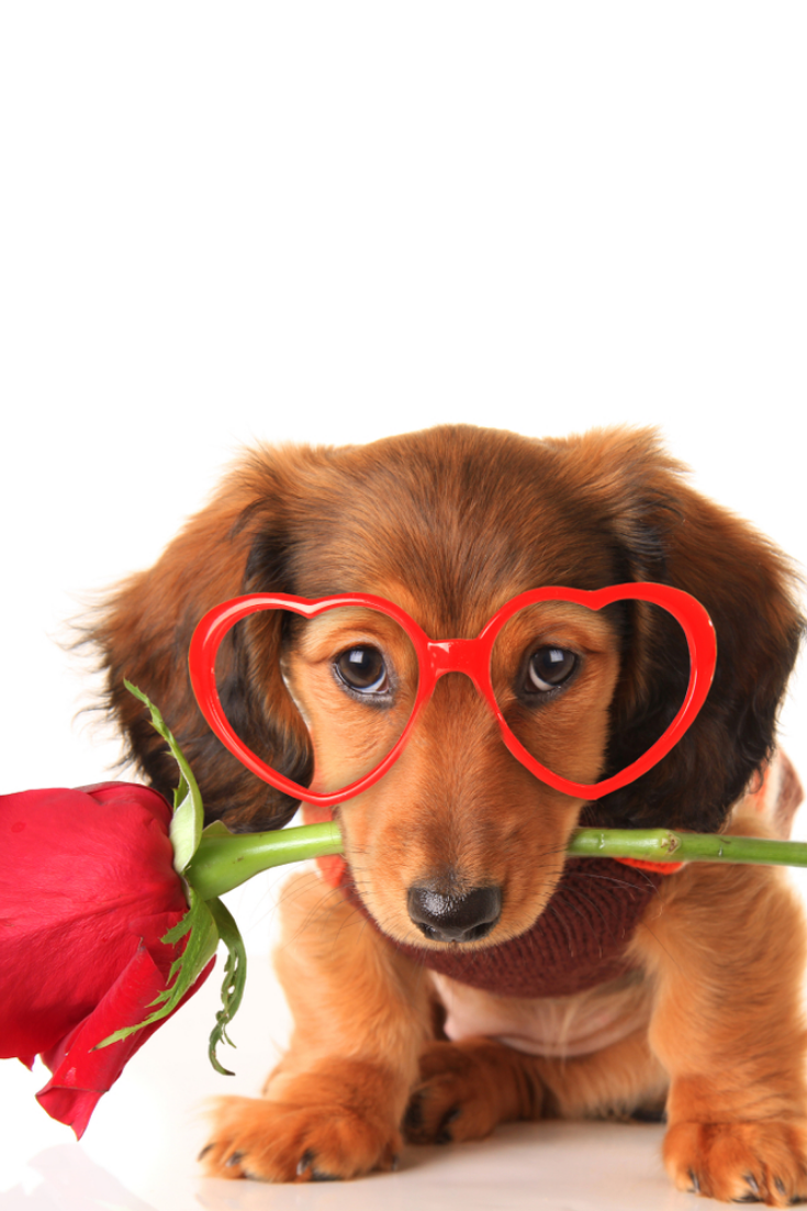 Longhair Dachshund Puppy Dog Studio Isolated On White Wearing Heart Shaped Valentines Day Eyeglasses And Holding A Red Rose Dachshund Dogs Dogs And Puppies