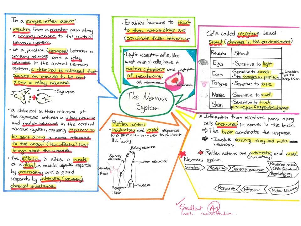 Mind Map Of The Nervous System Google Search Note Taking