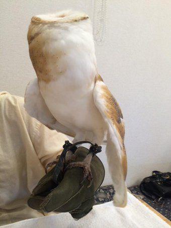 フクロウ メン メンフクロウ:フクロウ目/メンフクロウ科