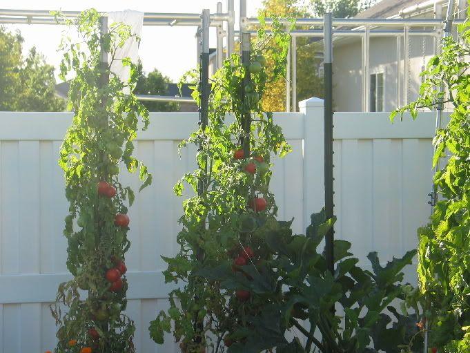 Zucchini   Square Foot Gardening Forum   GardenWeb. Stake Zucchini With  Jump Rope To Stake