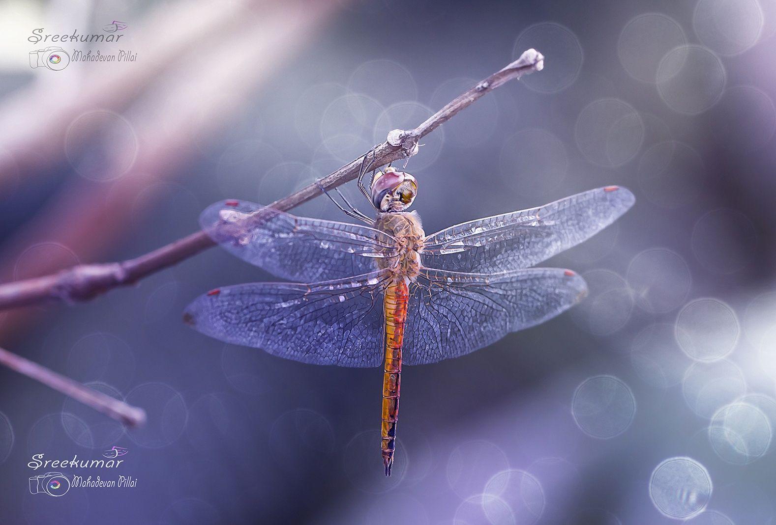 Dragon fly by Sreekumar Mahadevan Pillai on 500px