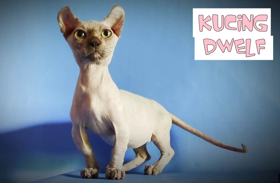 Mengenal Kucing Dwelf Sphynx Kaki Pendek Dan Bertelinga Melengkung Sphynx Kucing Munchkin Kucing