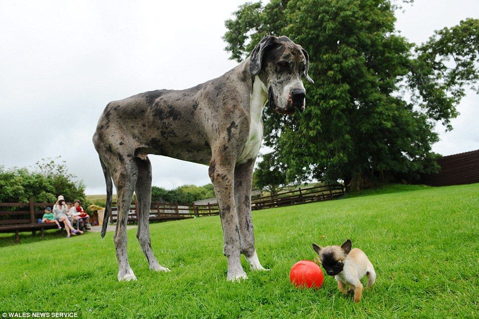 Great Dane Thought To Be World S Tallest Meets Britain S Smallest