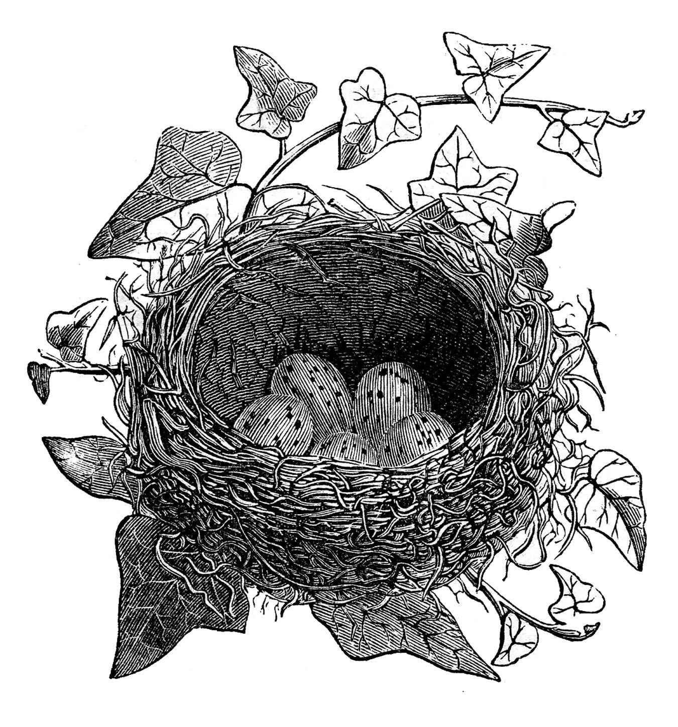 Drawing printout how to draw a bird nest - Vintage Clip Art Birds And Nest Engravings