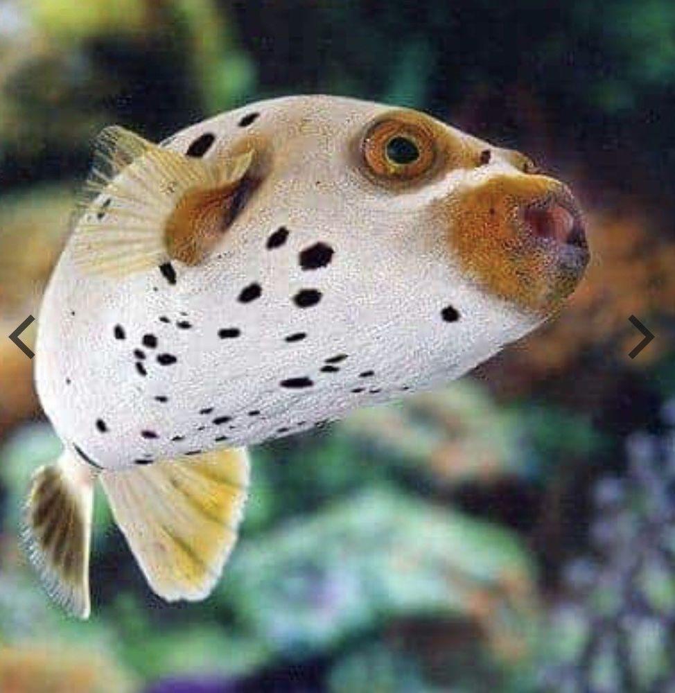 Beginner Saltwater Fish 3 Inch Dogface Puffer Hardy Marine