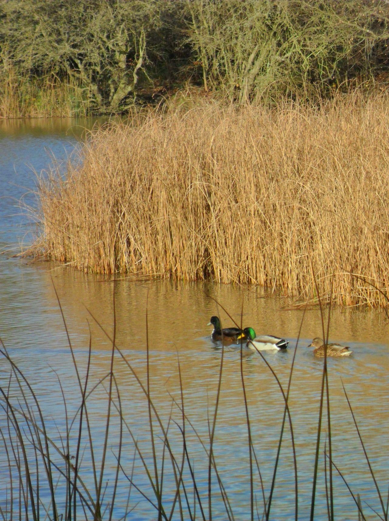 duckMallard Ducks at Park Lime Pits Lake, Aldridge, Walsall, England ...