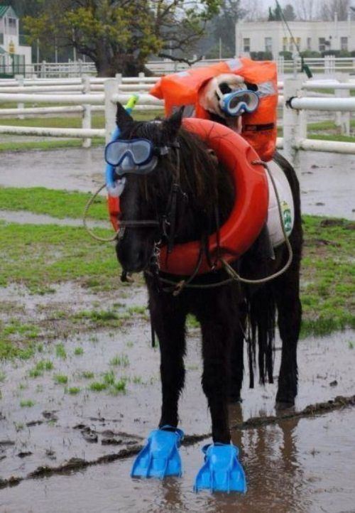 Scuba Pug And Horse Funny Horses Funny Dog Captions Horses