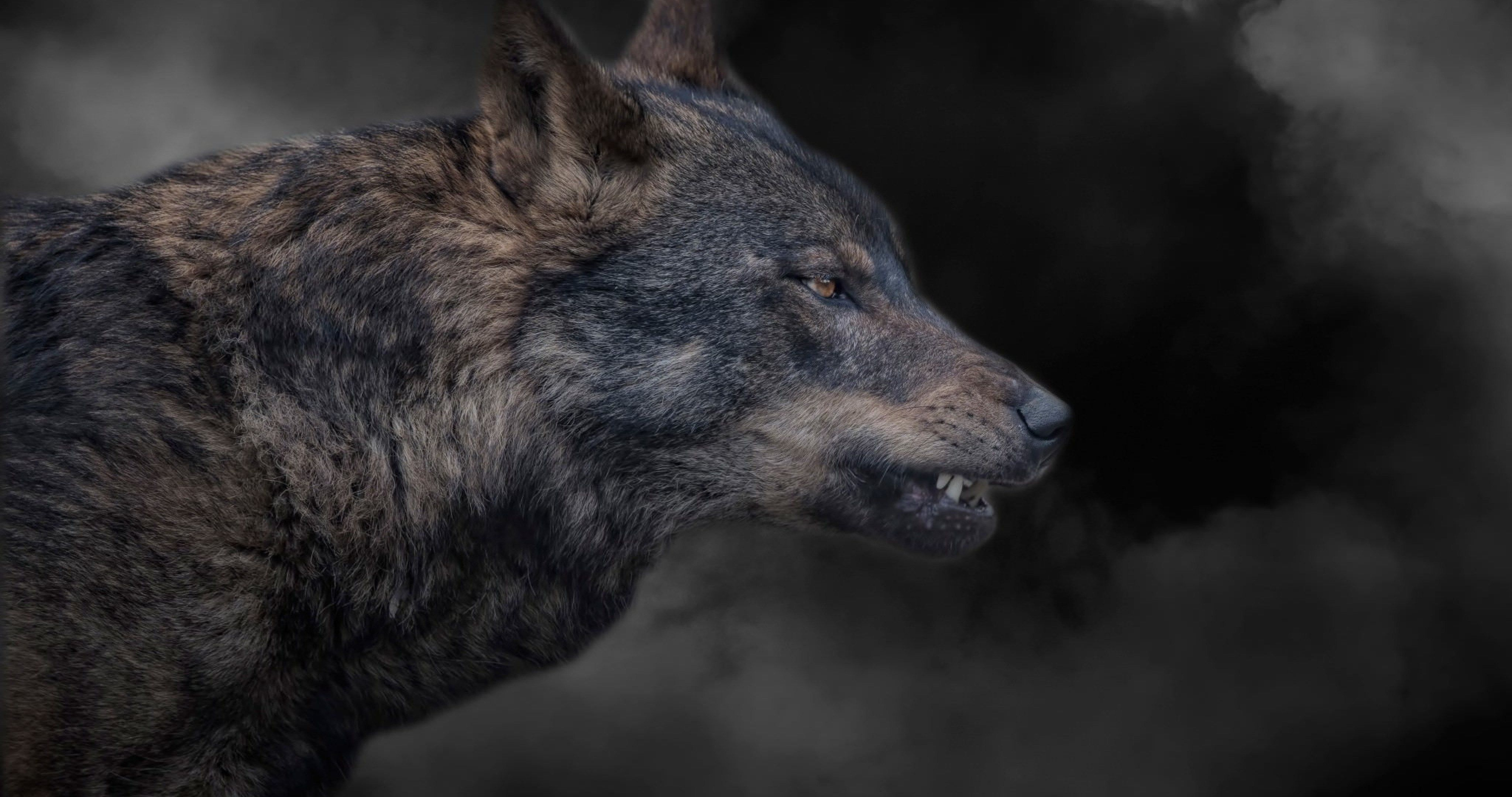 Wolf Grin 4k Ultra Hd Wallpaper Wolf Photos Wolf Bear Dog