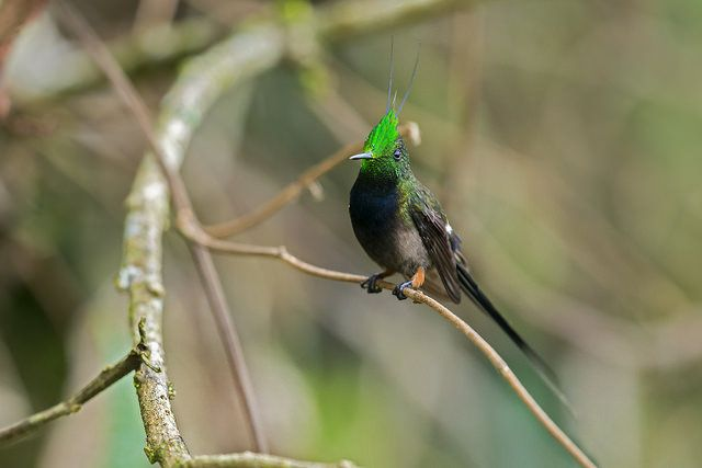 Discosura popelairii - Wire-crested Thorntail - Rabudito C…   Flickr