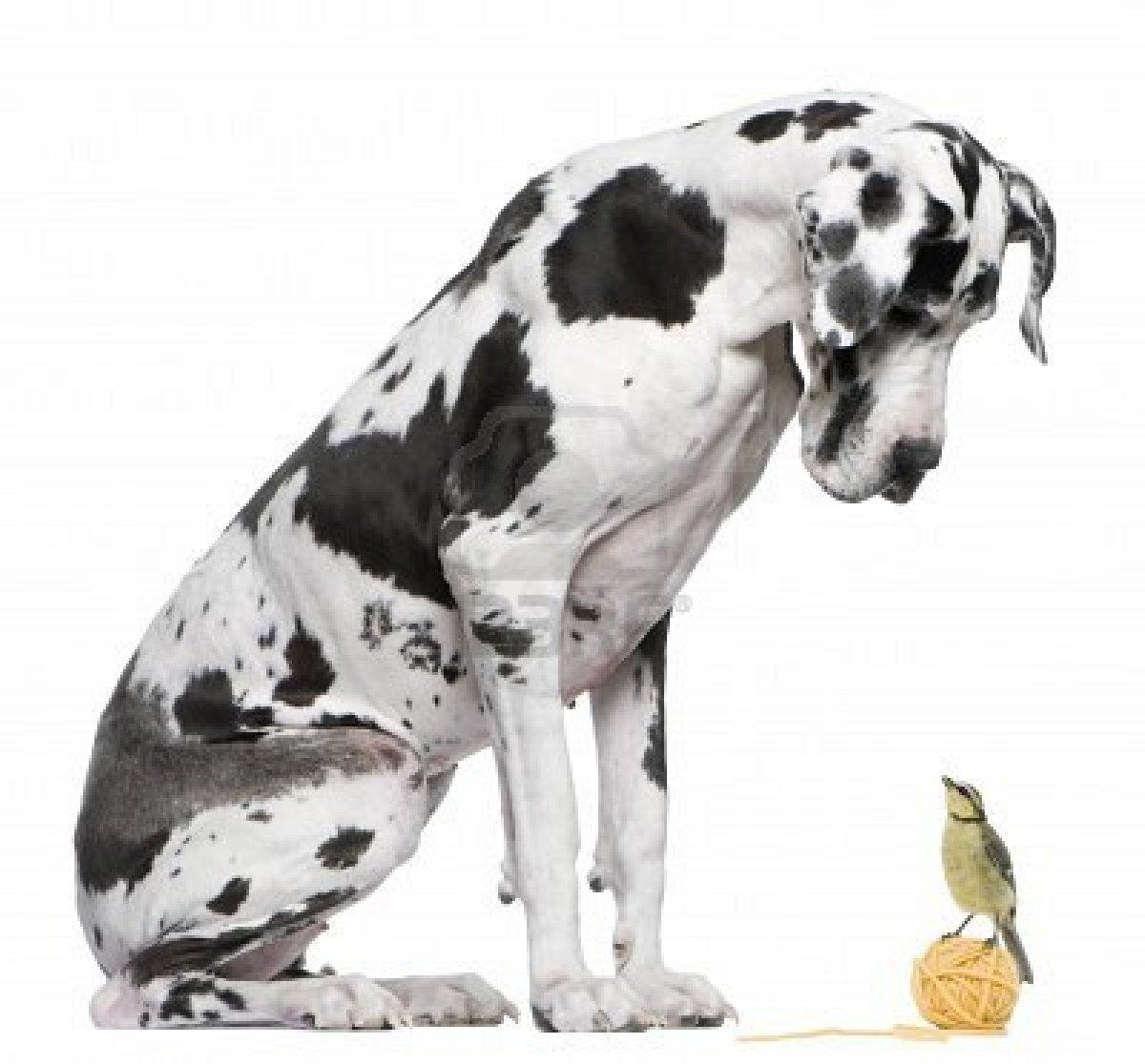 I Love Great Danes Great Dane Puppy Great Dane Dogs Great Dane