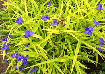 Image result for Tradescantia 'Sweet Kate'