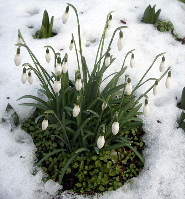 Campanilla de invierno flores que soportan el clima fr o for Plantas de jardin resistentes al frio