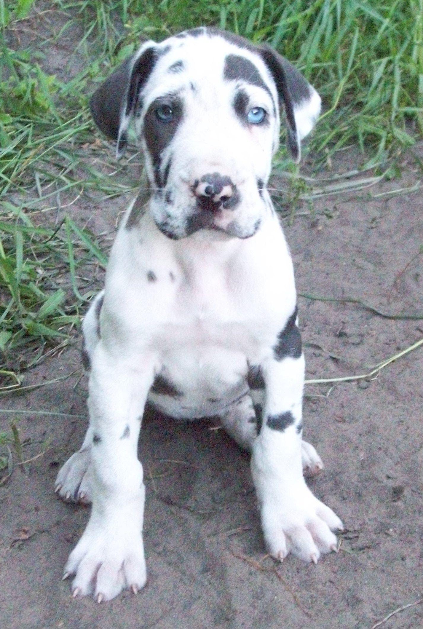 great dane Google Search Dane dog, Great dane puppy