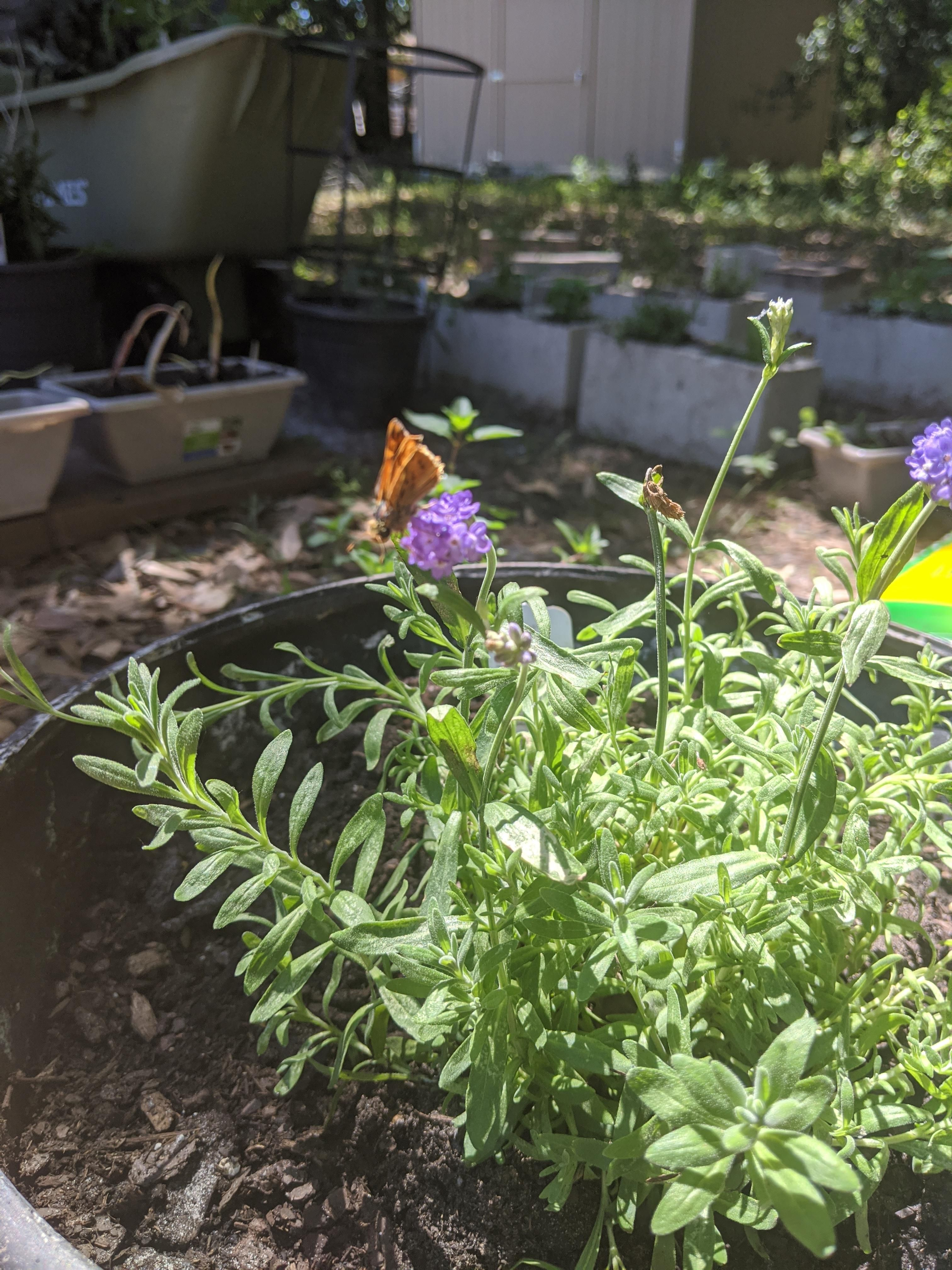 Butterfly on my lavender #gardening #garden #DIY #home #flowers #roses #nature #landscaping #horticulture