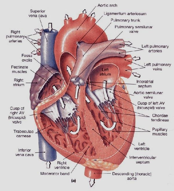 interventricular septum - google search | coração | pinterest, Human Body