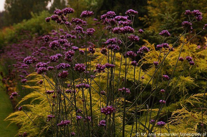 Jesienne Kwiaty 3 Werbena Patagonska Purple Flowers Plants Flowers